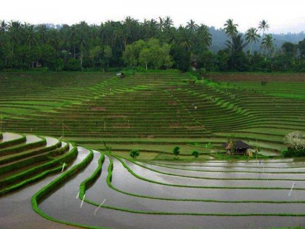 В выращивании риса кроется угроза для нашего климата